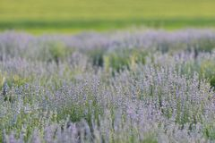 Lavender ανθίζει τον τομέα Στοκ Εικόνες