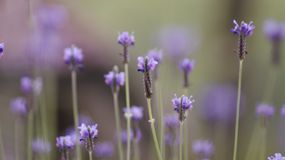 Lavender ανθίζει φυσικό υπόβαθρο εστίασης τοπίων το στενό επάνω αφηρημένο μαλακό στοκ φωτογραφία