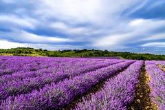 Lavender ανθίζοντας τομείς λουλουδιών Στοκ φωτογραφίες με δικαίωμα ελεύθερης χρήσης