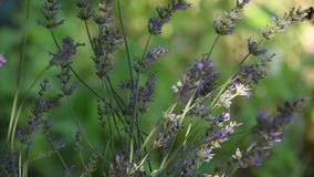 Lavender εγκαταστάσεις που ταΐζουν τις πολλαπλάσιες μέλισσες το καλοκαίρι