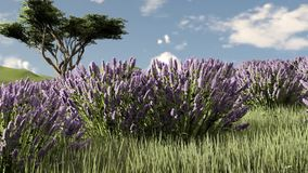 Lavender εγκαταστάσεις σε έναν τομέα στο ηλιοβασίλεμα φιλμ μικρού μήκους