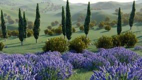 Lavender εγκαταστάσεις σε έναν τομέα στο ηλιοβασίλεμα απόθεμα βίντεο