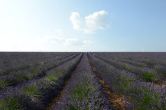 Lavender εγκαταστάσεις Στοκ Εικόνα