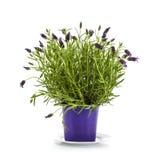 Lavender εγκαταστάσεις Stoechas στο πορφυρό δοχείο λουλουδιών στοκ φωτογραφίες