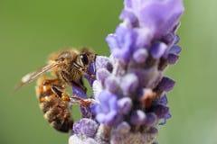 Lavender επικονίασης μελισσών μελιού Στοκ φωτογραφίες με δικαίωμα ελεύθερης χρήσης