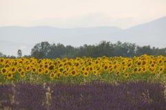 lavender ηλίανθοι Στοκ εικόνα με δικαίωμα ελεύθερης χρήσης