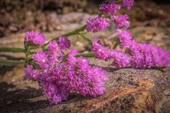 Lavender θάλασσας υλικό πληρώσεως ανθοδεσμών στον τοίχο βράχου στοκ φωτογραφίες με δικαίωμα ελεύθερης χρήσης