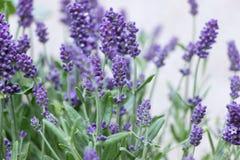 Lavender θάμνος λουλουδιών στην ηλιοφάνεια στοκ φωτογραφία με δικαίωμα ελεύθερης χρήσης