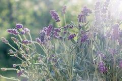 Lavender θάμνος λουλουδιών στην ηλιοφάνεια στοκ φωτογραφίες με δικαίωμα ελεύθερης χρήσης