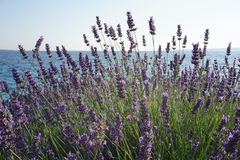 Lavender θάμνος με τα λουλούδια από την παραλία, angustifolia Lavandula, officinalis Lavandula Στοκ Εικόνες