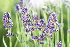 lavender κήπων λουλουδιών Στοκ φωτογραφίες με δικαίωμα ελεύθερης χρήσης