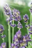 lavender κήπων λουλουδιών Στοκ φωτογραφία με δικαίωμα ελεύθερης χρήσης