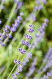 lavender κήπων Στοκ φωτογραφία με δικαίωμα ελεύθερης χρήσης