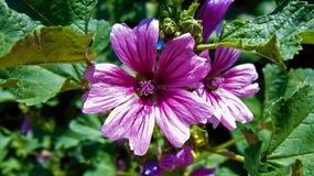 Lavender και άσπρα λουλούδια Στοκ φωτογραφίες με δικαίωμα ελεύθερης χρήσης