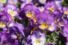 Lavender και κίτρινο Pansies στοκ εικόνα με δικαίωμα ελεύθερης χρήσης