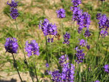 Lavender και μέλισσα Στοκ Εικόνες