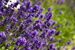 Lavender και μέλισσες στοκ φωτογραφία με δικαίωμα ελεύθερης χρήσης