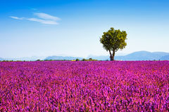 Lavender και μόνο δέντρο ανηφορικά Γαλλία Προβηγκία στοκ φωτογραφία με δικαίωμα ελεύθερης χρήσης