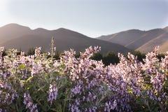 Lavender και λογική καλλιέργεια Στοκ Φωτογραφία