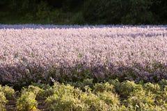 Lavender και λογική καλλιέργεια Στοκ Εικόνα