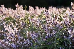 Lavender και λογική καλλιέργεια Στοκ Φωτογραφίες
