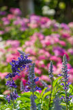 Lavender και ο φίλος του Στοκ Εικόνα