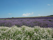 Lavender και σύννεφα Στοκ φωτογραφίες με δικαίωμα ελεύθερης χρήσης