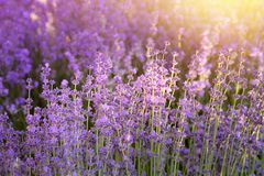 Lavender κινηματογράφηση σε πρώτο πλάνο θάμνων Στοκ Εικόνα