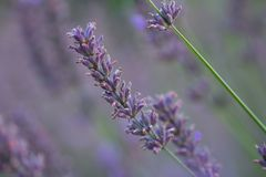 Lavender κινηματογράφηση σε πρώτο πλάνο λουλουδιών Στοκ Εικόνα