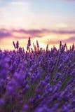 Lavender κινηματογράφηση σε πρώτο πλάνο στο υπόβαθρο του ήλιου ρύθμισης στοκ εικόνες
