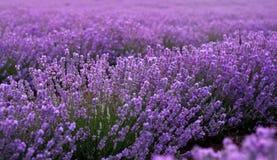 Lavender κινηματογράφηση σε πρώτο πλάνο τομέων στοκ εικόνα