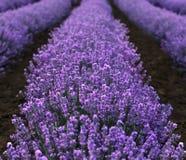 Lavender κινηματογράφηση σε πρώτο πλάνο τομέων στοκ φωτογραφία