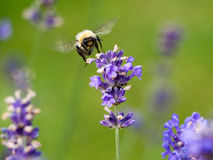 Lavender κρεβάτι και πεταλούδες Στοκ φωτογραφίες με δικαίωμα ελεύθερης χρήσης