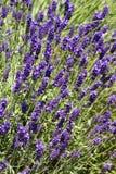 Lavender κρεβάτι Στοκ Εικόνες
