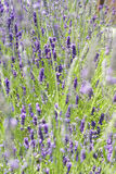 Lavender κρεβάτι Στοκ εικόνα με δικαίωμα ελεύθερης χρήσης