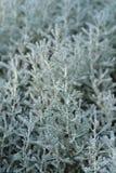 Lavender κυπαρισσιών βαμβάκι στοκ φωτογραφίες με δικαίωμα ελεύθερης χρήσης