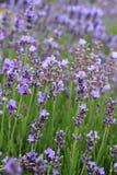 lavender λουλουδιών ανοικτό Στοκ Εικόνα