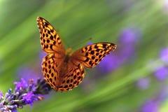 lavender λουλουδιών πεταλούδων πορτοκάλι Στοκ Φωτογραφίες