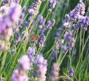 lavender λουλουδιών πεταλούδ Στοκ φωτογραφίες με δικαίωμα ελεύθερης χρήσης