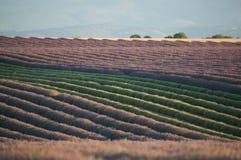lavender λουλουδιών σειρές Στοκ εικόνα με δικαίωμα ελεύθερης χρήσης