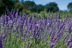 Lavender λουλούδια στη θερινή ανθίζοντας κινηματογράφηση σε πρώτο πλάνο στοκ εικόνες με δικαίωμα ελεύθερης χρήσης
