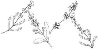 Lavender λουλούδι σε ένα διανυσματικό ύφος που απομονώνεται Στοκ Εικόνες