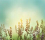 Lavender λουλούδια Στοκ Εικόνα