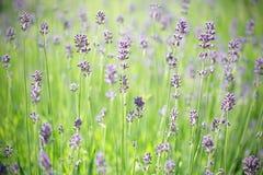 lavender μίσχοι Στοκ Φωτογραφία