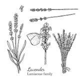 Lavender μελανιού συρμένο χέρι σκίτσο Στοκ φωτογραφίες με δικαίωμα ελεύθερης χρήσης