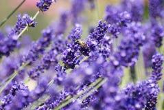 Lavender με τη μέλισσα Στοκ Εικόνες
