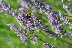 Lavender με bumblebee Στοκ φωτογραφίες με δικαίωμα ελεύθερης χρήσης