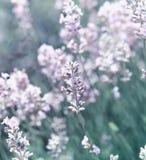 lavender λουλουδιών λευκό Στοκ Φωτογραφία