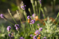 lavender λουλουδιών μελισσών Στοκ Φωτογραφία