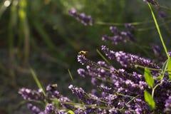 lavender λουλουδιών μελισσών Στοκ Εικόνες